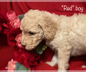 Goldendoodle Puppy for Sale in MANSFIELD, Texas USA