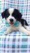 Australian Shepherd Puppy For Sale in NOTTINGHAM, Pennsylvania,