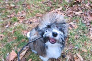 Havanese Puppy For Sale in NEW ALBANY, OH