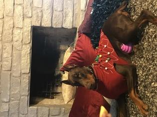 Doberman Pinscher Puppy For Sale in CALDWELL, TX