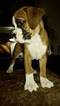 AKC Purebred Boxers Champion Bloodlines