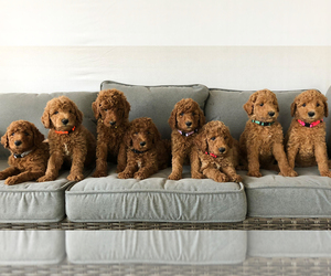 Goldendoodle Puppy for Sale in UTOPIA, Texas USA