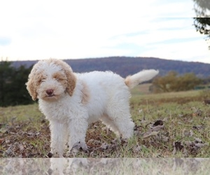 Goldendoodle Puppy for sale in MARSHALL, AR, USA