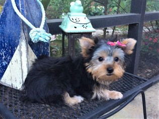 Medium Yorkshire Terrier