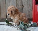 Small #6 Poodle (Miniature)