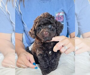 Labradoodle Puppy for Sale in BERLIN, New Jersey USA