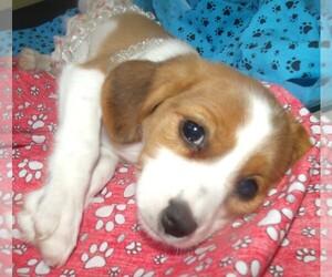 Beaglier Puppy for sale in PATERSON, NJ, USA