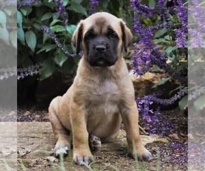 Mastiff Puppy for sale in GAP, PA, USA