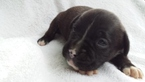 Boxer Puppy For Sale in TROY, VA