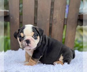 Bulldog Puppy for sale in GRAND CENTRAL, NY, USA