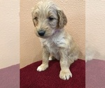 Puppy 11 Goldendoodle-Poodle (Standard) Mix