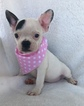 French Bulldog Puppy For Sale in SAINT JOHNS, Florida,
