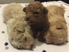 Poodle (Toy) Puppy For Sale in CICERO, IL,