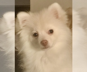 Pomeranian Dog for Adoption in LUTHERVILLE, Maryland USA