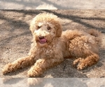 Small #4 Australian Labradoodle-Poodle (Standard) Mix