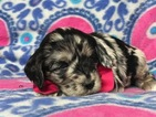 Cocker Spaniel-Poodle (Miniature) Mix Puppy For Sale in LANCASTER, PA, USA