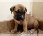 Small #5 America Bandogge Mastiff