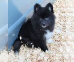 Puppy 3 Alaskan Klee Kai