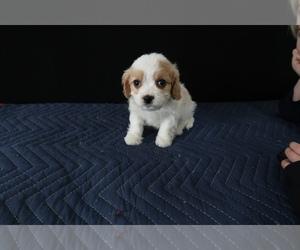 Cavachon Puppy for sale in GRAND RAPIDS, MI, USA