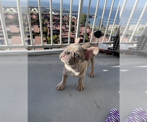 French Bulldog Puppy for Sale in SAN FRANCISCO, California USA