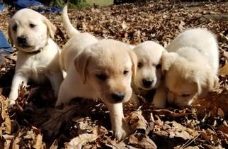 Labrador Retriever Puppy For Sale in MECHANICSBURG, OH, USA
