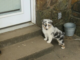 Australian Shepherd Dog for Adoption in CLAREMORE, Oklahoma USA