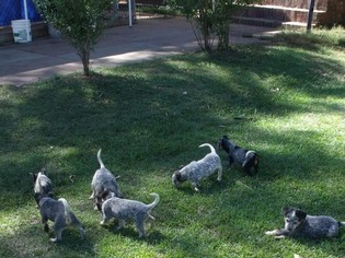 Australian Cattle Dog Puppy For Sale in MABLETON, GA, USA