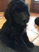 Sheepadoodle Puppy For Sale in MAGNOLIA, TX, USA