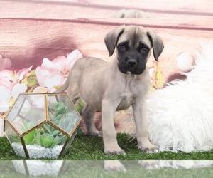 Mastiff Puppy for sale in MARIETTA, GA, USA