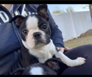 Boston Terrier Puppy for sale in DOVER, DE, USA