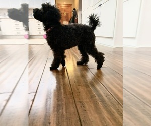 Poodle (Toy) Puppy for sale in COLUMBUS, IN, USA