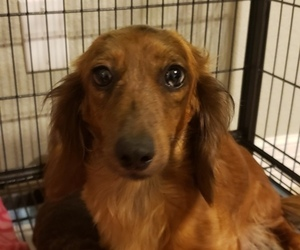 Dachshund Puppy for Sale in CONROE, Texas USA