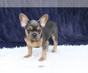 French Bulldog Dog for Adoption in LARCHMONT, New York USA