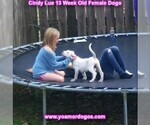 Small Photo #173 Dogo Argentino Puppy For Sale in PINEVILLE, MO, USA