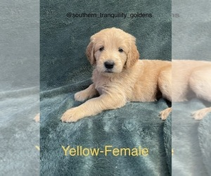 Goldendoodle Puppy for sale in CLERMONT, FL, USA