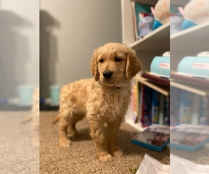 Golden Retriever Puppy for Sale in JACKSONVILLE, North Carolina USA