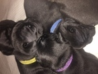 5 French Bulldog puppies for sale