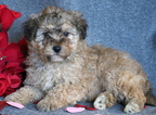 Lhasa-Poo Puppy For Sale in MOUNT JOY, PA, USA