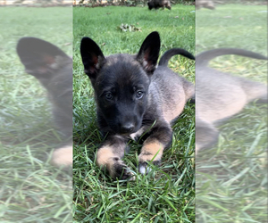 German Shepherd Dog-Siberian Husky Mix Puppy for sale in FINKSBURG, MD, USA