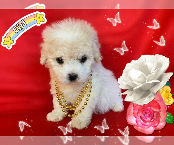 Medium Photo #8 Maltese-Maltipoo Mix Puppy For Sale in SAN FRANCISCO, CA, USA