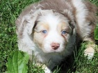 BLUE EYED AUSTRALIAN SHEPHERD PUPPIES