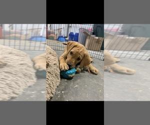 Labrador Retriever Puppy for sale in LEWISTON, MN, USA