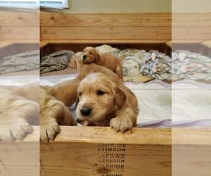 Golden Irish-Golden Retriever Mix Puppy for sale in KELSO, WA, USA