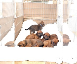 Rhodesian Ridgeback Puppy for sale in Murcia, Murcia, Spain