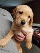 Golden Retriever Puppy For Sale in EVANSDALE, Iowa,