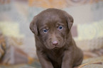 Labrador Retriever Puppy For Sale in LEETONIA, OH, USA