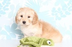 Dachshund-Goldendoodle Mix Puppy For Sale in NAPLES, FL, USA