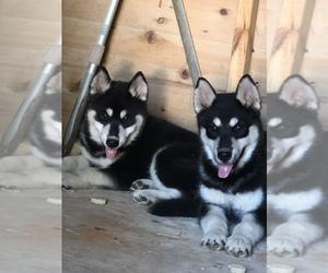 Siberian Husky Puppy for sale in WILLIAMSBURG, VA, USA