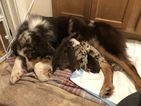 Australian Shepherd Puppy For Sale in BARRINGTON, NH, USA
