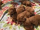 Golden Irish Puppy For Sale in WHITMORE LAKE, MI, USA